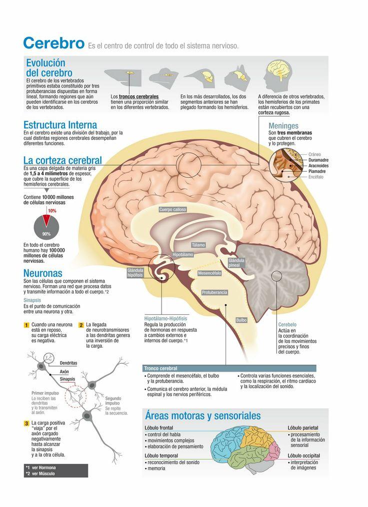Cómo funciona el cerebro humano? | Infografías y Remedios