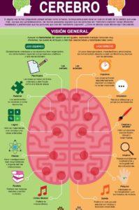 que hace cada hemisferio del cerebro