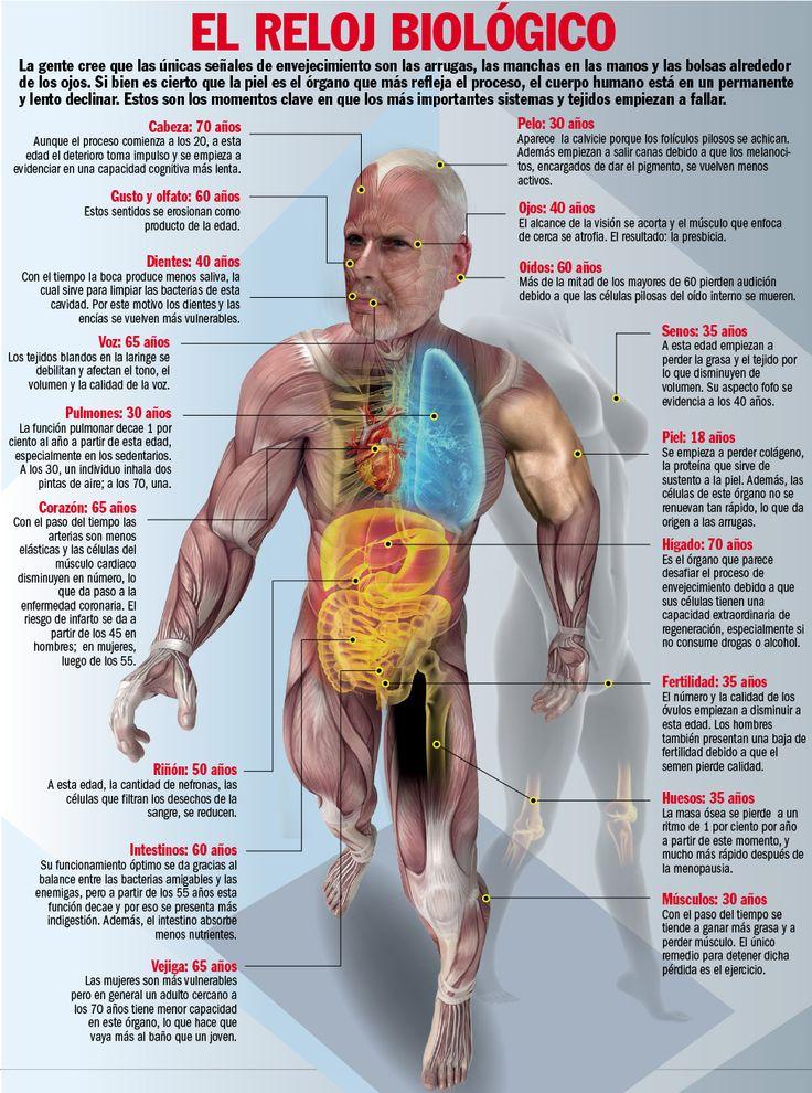 El reloj biológico y sus efectos sobre el cuerpo humano ...